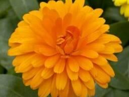 Календула лекарственная, махровая, сорт Английская оранжевая