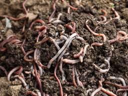 Калифорнийские черви, старатель для разведения, биогумуса