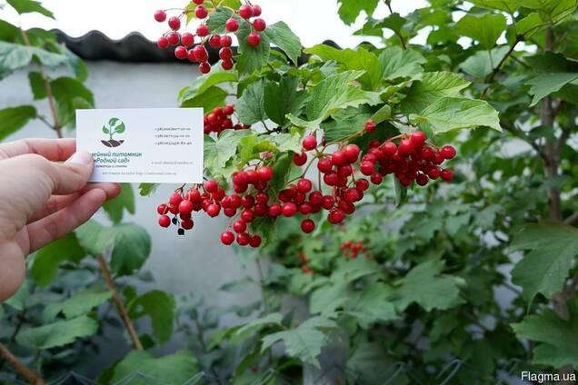 Калина обыкновенная семена 10шт(семечки)для саженцев насіння