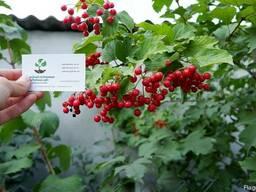 Калина обыкновенная семена 10шт(семечки)для саженцев насіння - фото 1