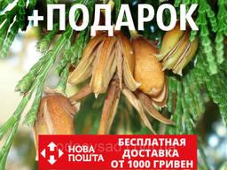 Калоцедрус низбегающий семена (20 шт) (Calocedrus. ..