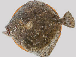 Камбала калкан черноморская вес 4+ кг/штука