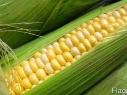 Канадская кукуруза