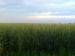 Канадские яровые семена пш. Фаррел, Арвада, Новелл, Тесла