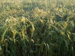 Канадский элитный сорт озимой твердой пшеницы Shasta