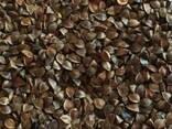 Канадский сорт гречихи Granby,Гранби семена на посев-Гречка, - фото 2