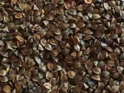 Крупозавод купує дорого зерно гречки!
