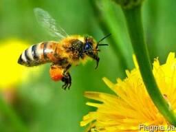 Карпатская порода пчёл: пчелиная плодная матка с пасеки