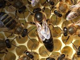 Mated Carpathian Queenbees of high quality