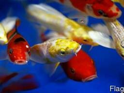 Карпы кои, breeder koi, опт, зоомагазин интернет, рыбки, аквариум