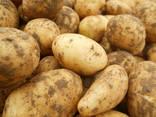 Картофель (Беларусь) - фото 1