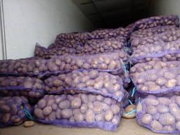 Картофель оптом Беларусь - фото 2