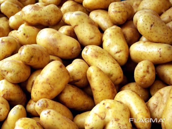 Картофель оптом на экспорт - UA / SRB / MD / EU