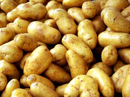 Картофель оптом на экспорт - UA / SRB / MD / EU - фото 1