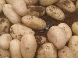 Картофель Сбонта
