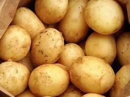 Картофель семенной Гранада, Пикассо