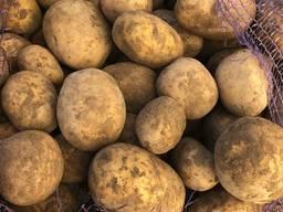 "Картофель сорт "" Галла"" оптом"