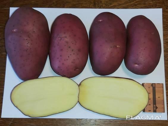 Картофель Laura, Esmee / урожай 2020 со склада или с доставкой