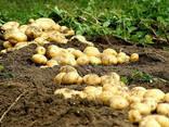 Картоплекопачка 1-но рядн. вібраційна, BOMET, Польща - фото 1