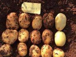 Картопля насіннєва. Актрис. Agroplant