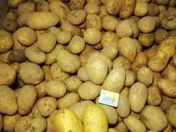 Картопля свіжа, сорт Берніна