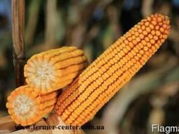Кайфус кукуруза купить, кукуруза цена Кайфус