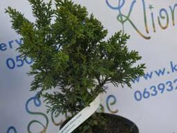 Кипарисовик Drath, 30-40 см (5л.)