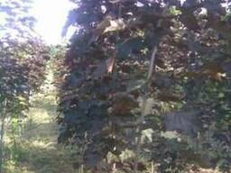 Клен остролистный краснолистный, 1,5-2,5м