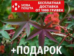 Клещевина обыкновенная семена (20 шт) (Ricinus commúnis). ..