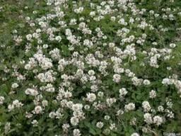 Клевер белый-газон не требует скашивания