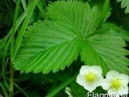 Клубника листья и трава. Полуниця, суниця листя, трава