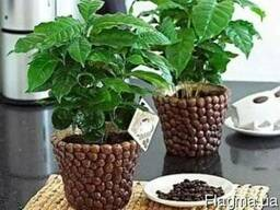 Кофейное дерево - кофе арабика.