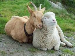 "Комбикорм для коз и ягнят ""Рост"" возрастом 4 месяца"
