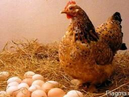 """Комбикорм для курицы """"Несушка"""""""