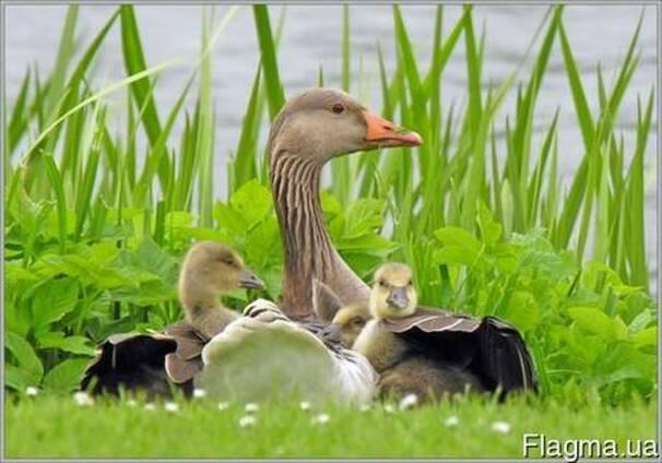 Комбикорм для уток и гусей (3-8нд)