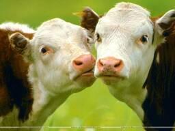 "Комбикорм, корм для коров, бычков, в Одессе тм ""МаксимуМ"""