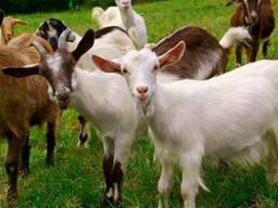 Комбикорм для коз в период лактации