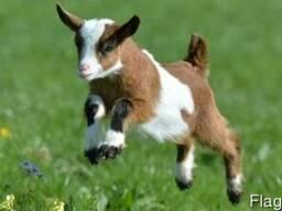 Комбикорм для козлят до 3 месяцев