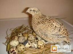 """Комбикорм """"Несушка"""" для перепела на яйцо с 42 дня"""