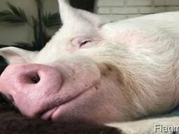 Комбикорм для свиней финиш тм новаагро