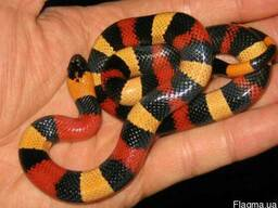 Королевская змея Кэмпбелла ( Lampropeltis triangulum campbel