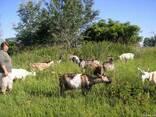 Козий сыр типа пармезан - самый целебный ТМ Ласкаве Козеня - фото 3