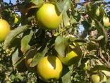 Красивые вкусные яблоки из сада - фото 3