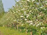 Красивые вкусные яблоки из сада - фото 4