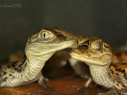 Крокодиловый кайман ( Caiman crocodilus )