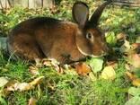 Кролі кастор-рекс - фото 1