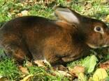Кролі кастор-рекс - фото 2