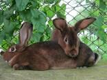 Кролики шиншилла-Рекс - фото 4