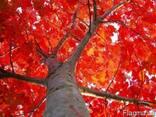 Кругляк дуб червоний, 1-3 сорт (Дуб красный) - фото 1