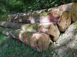 Кругляк дуба великих діаметрів в Черкасах - фото 9